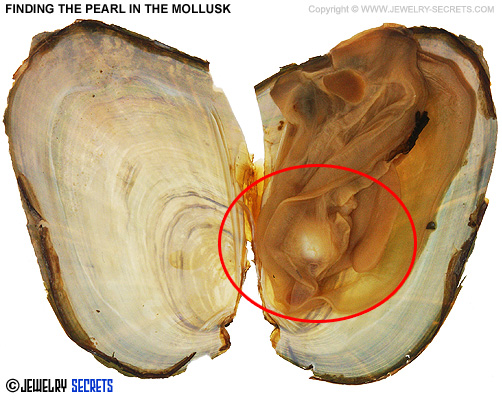 Finding The Pearl In The Mollusk