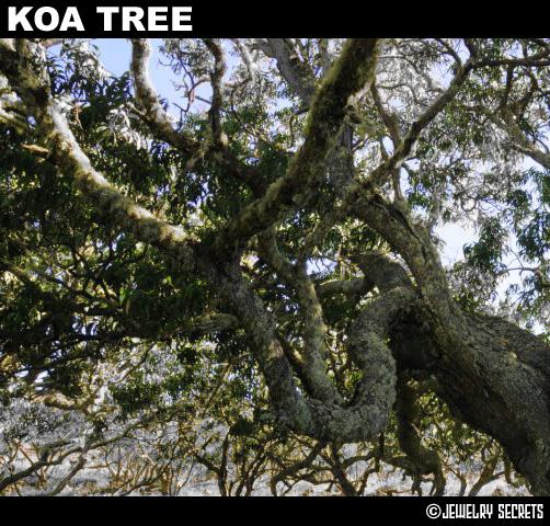 Koa Wood Tree