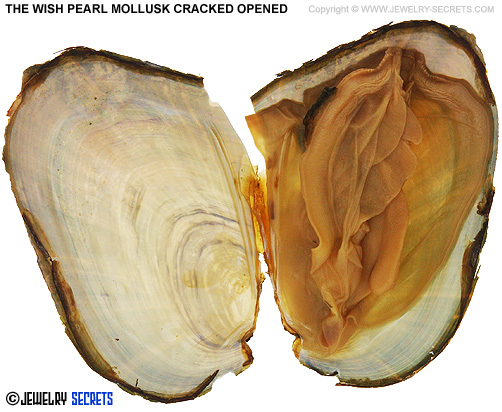 Wish Pearl Mollusk Cracked Open